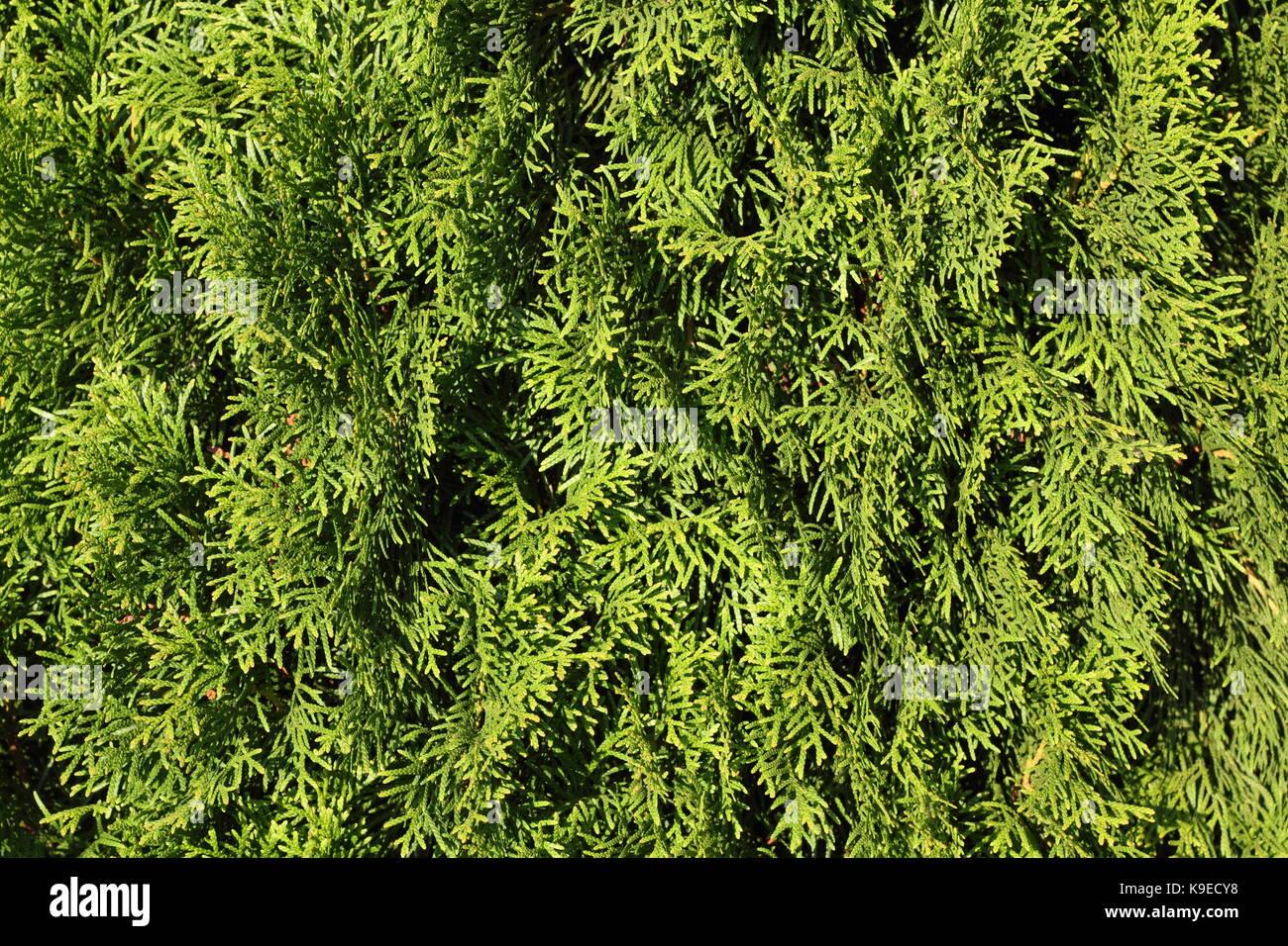 Green foliage background (thuja leaves closeup photo) - Stock Image