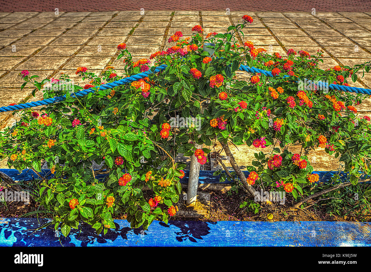 Lantana vines with colorful blossoms are a banned, noxious plant in many places. - Stock Image