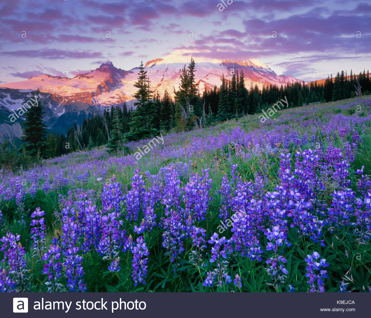 Wildflowers at Sunrise, Mount Rainier National Park, Washington - Stock Image