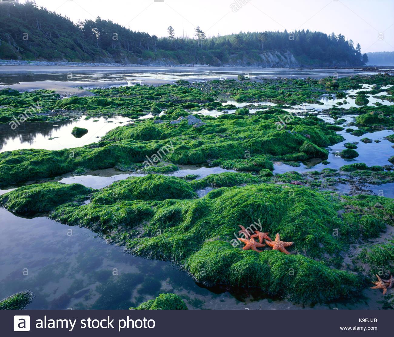 Sea Stars and Tide Pools, Olympic National Park, Washington Stock Photo