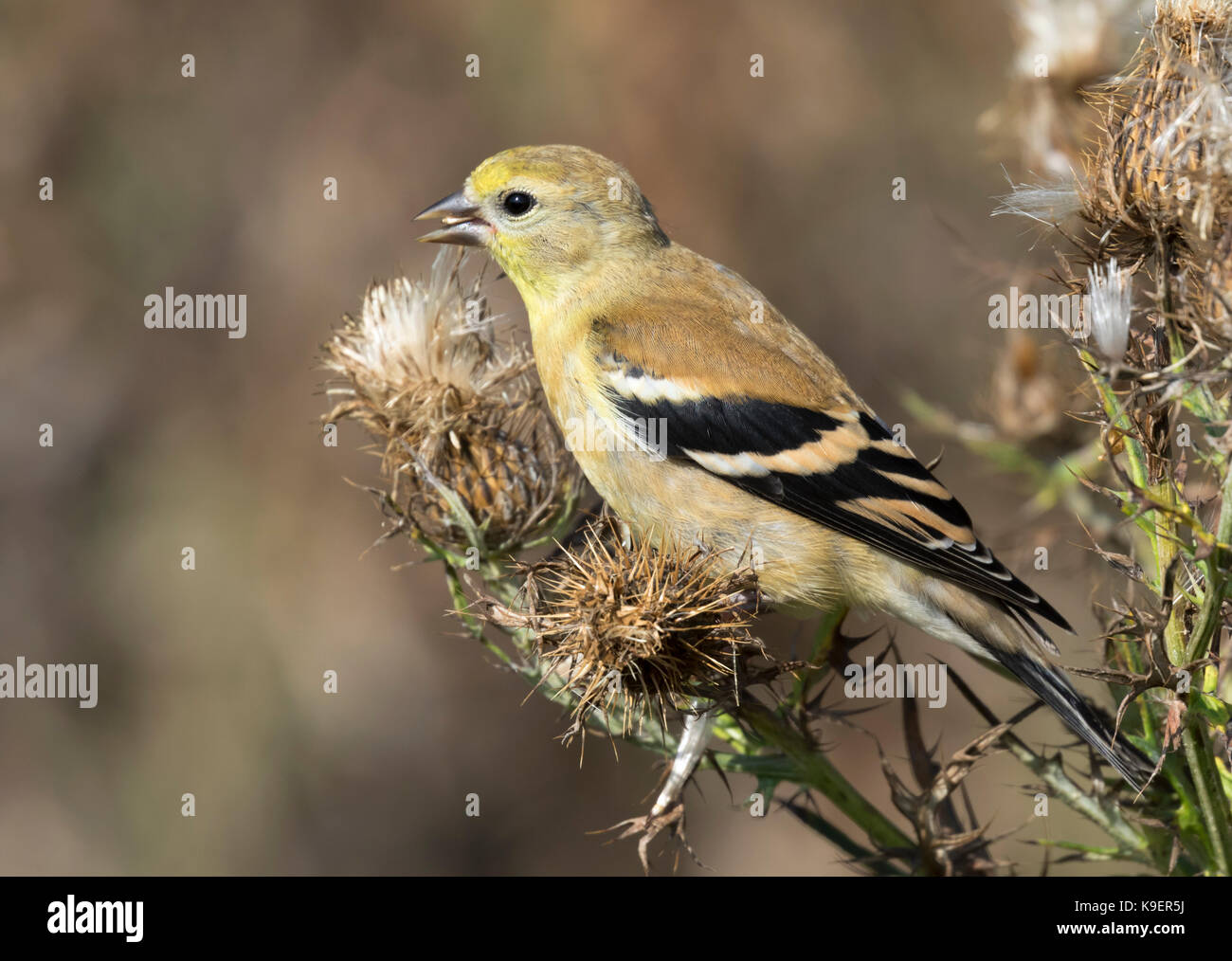 The American goldfinch (Spinus tristis) - Stock Image