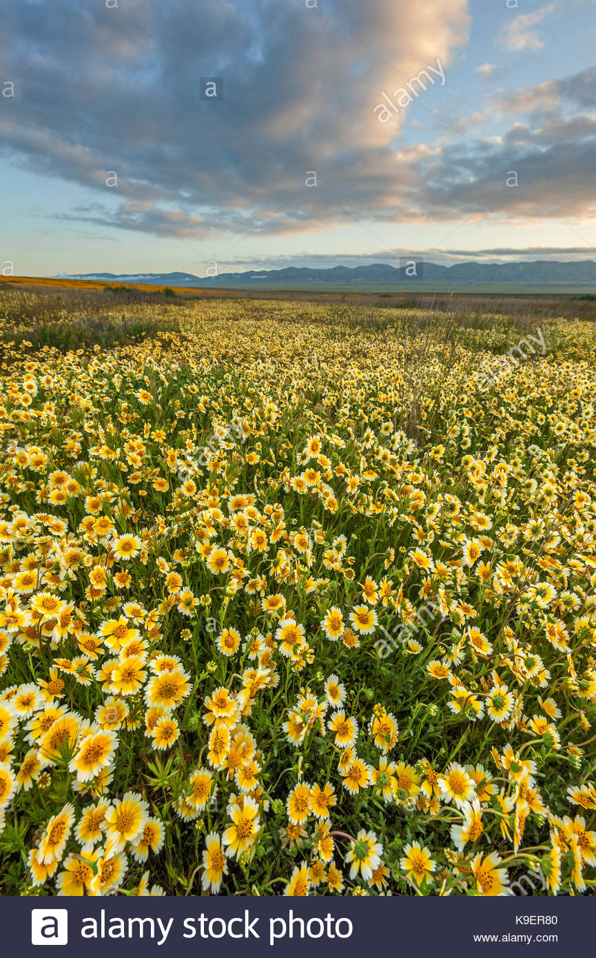Tidy-tips and Cloud at Sunrise, Carrizo Plain National Monument, California - Stock Image