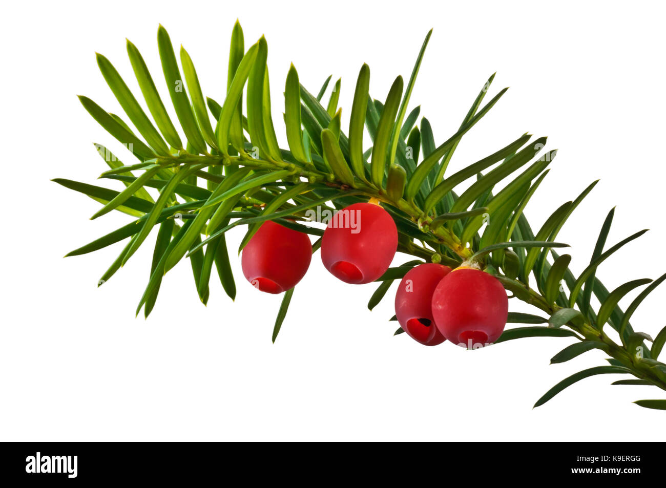 Twig yew tree with red fruits close up isolated on white background. - Stock Image