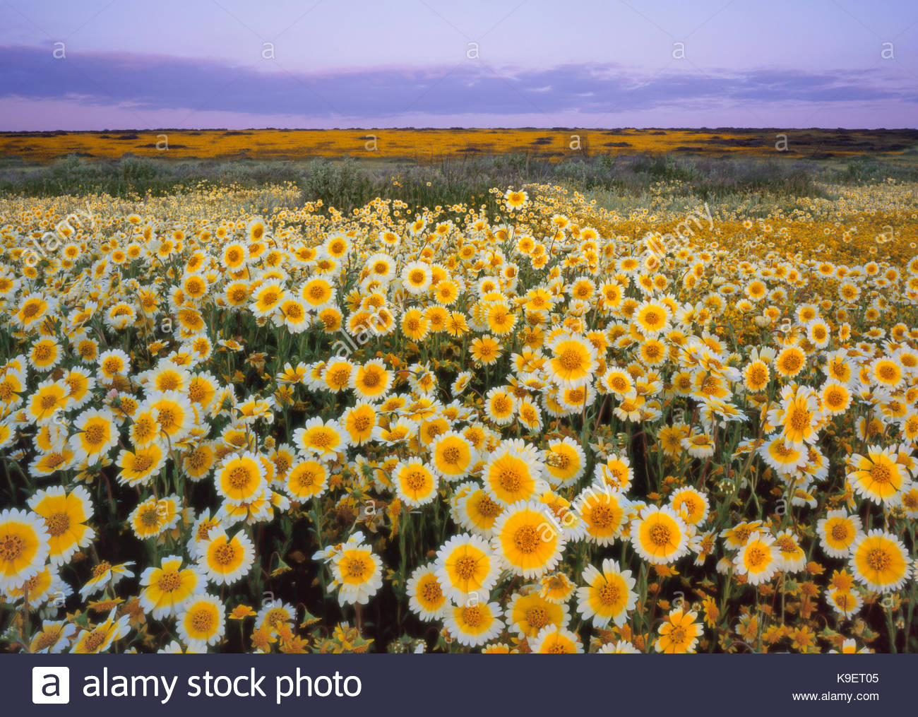 Tidy-tips at Sunrise, Carrizo Plain National Monument, California - Stock Image