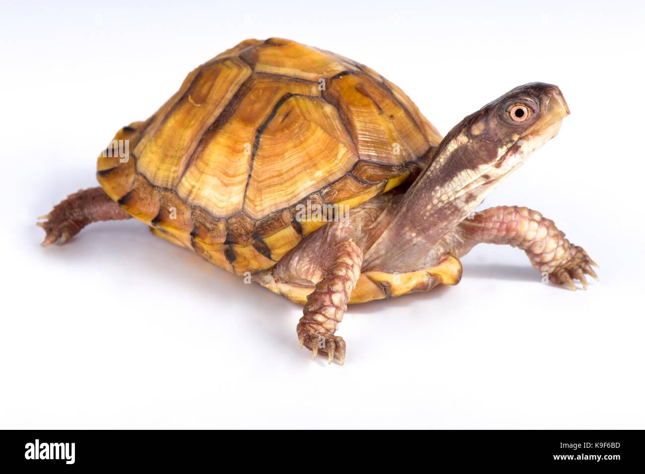 Gulf Coast box turtle, Terrapene carolina major - Stock Image