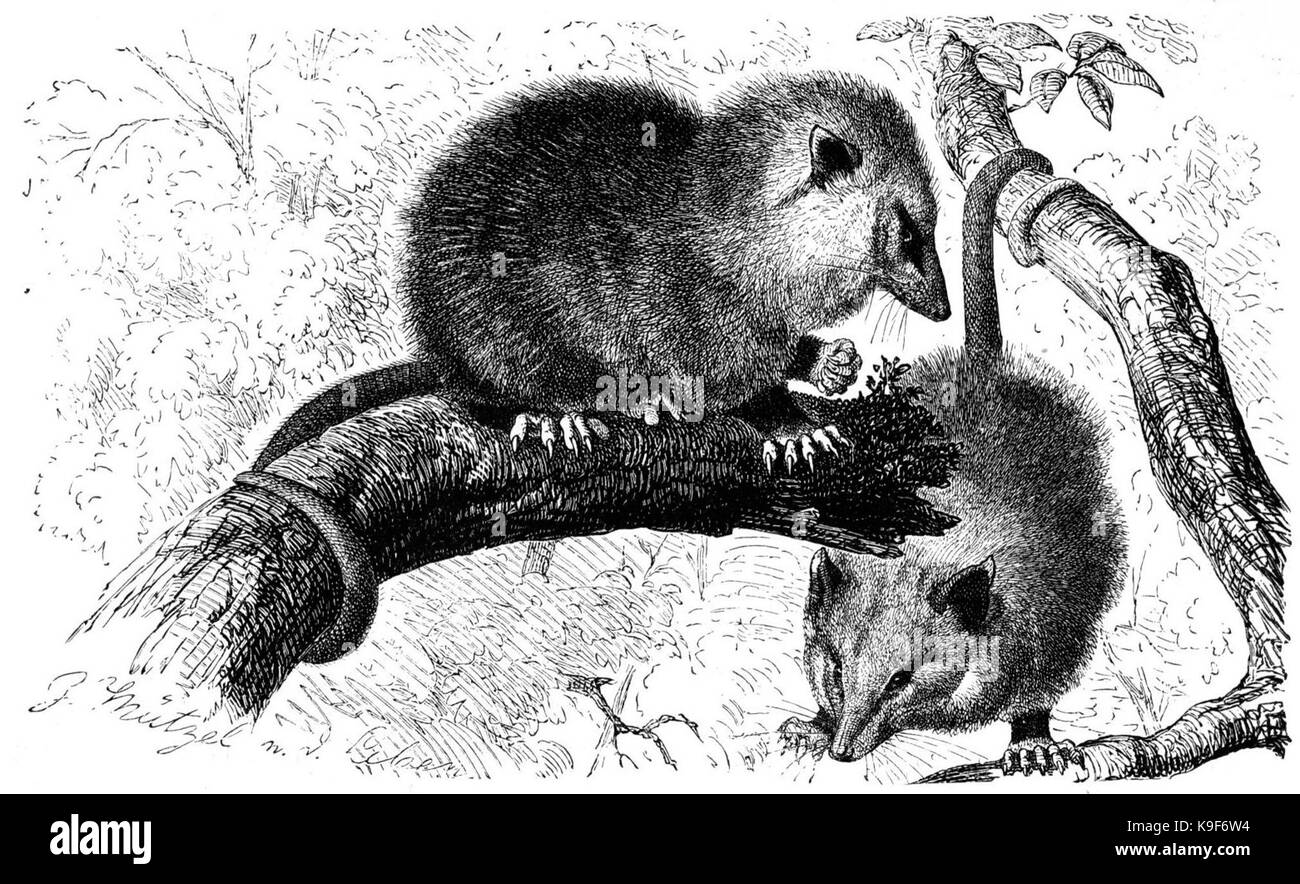Opossum Drawing Stock Photo 160759904 Alamy