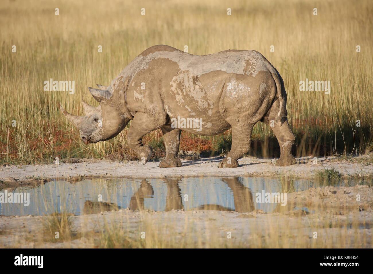 Nashorn in Steppenlandschaft am Wasserloch im Etosha Nationalpark - Stock Image