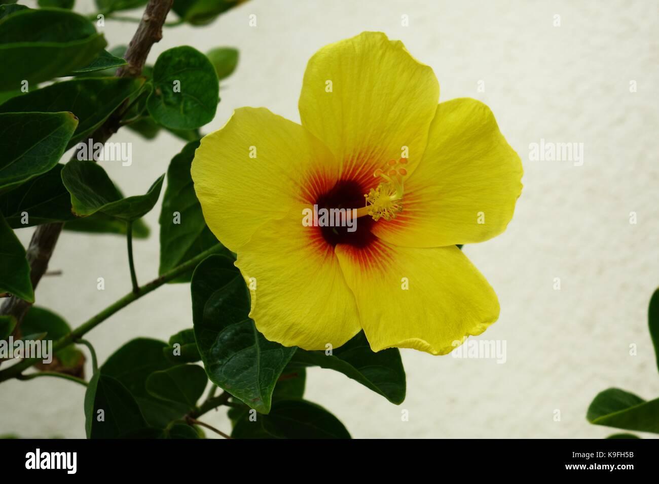 Hawaii state flower stock photos hawaii state flower stock images yellow hibiscus hawaii state flower pua aloalo mao hau hele izmirmasajfo