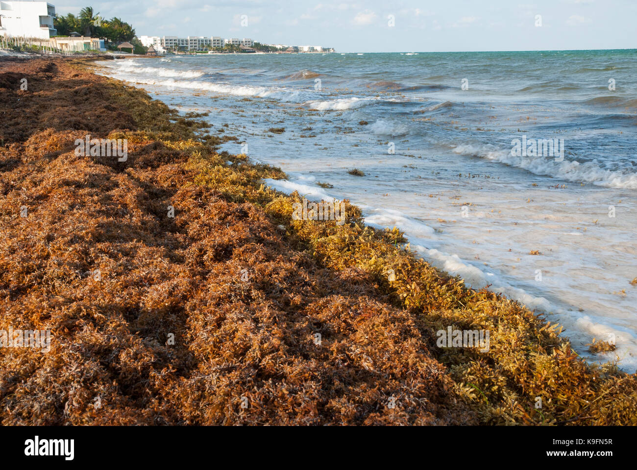 Washed up Sargassum seaweed covers a Caribbean beach near Cancun, Mexico. - Stock Image