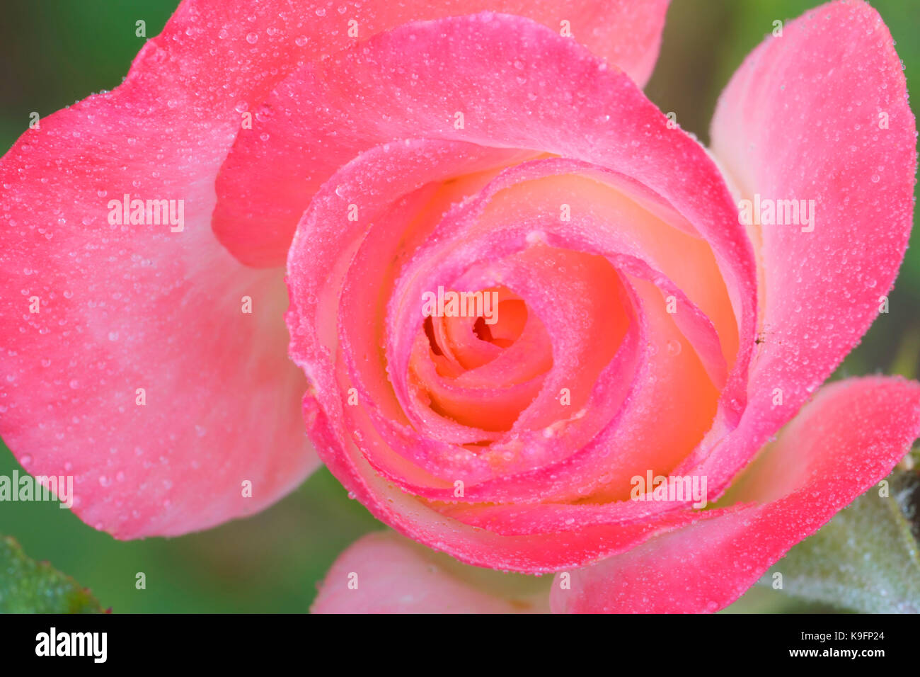 Rose, Bushs Pasture Park, Salem, Oregon - Stock Image