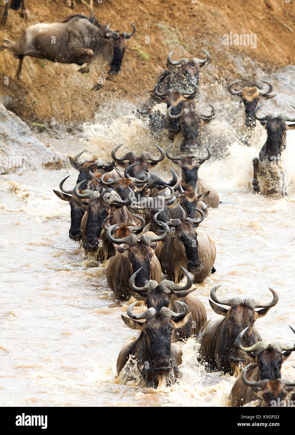 Wildebeests or Gnu crossing the Mara river during the Great Migration - Stock Image