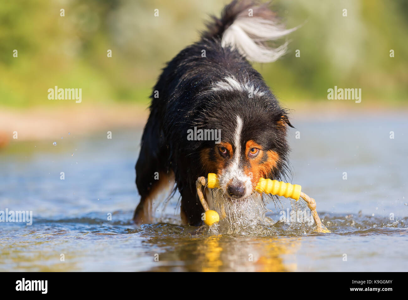 Australian Shepherd dog retrieves a toy out of a lake - Stock Image