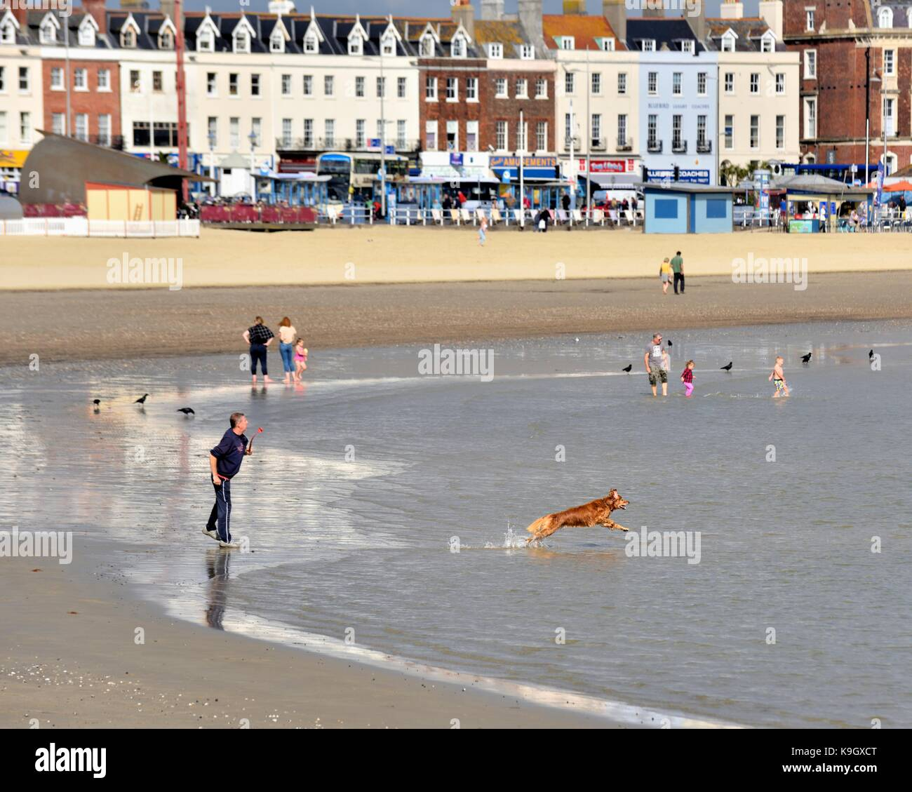 A dog leaping into the sea after a ball throwm by it's owner Weymouth beach Dorset England UK - Stock Image