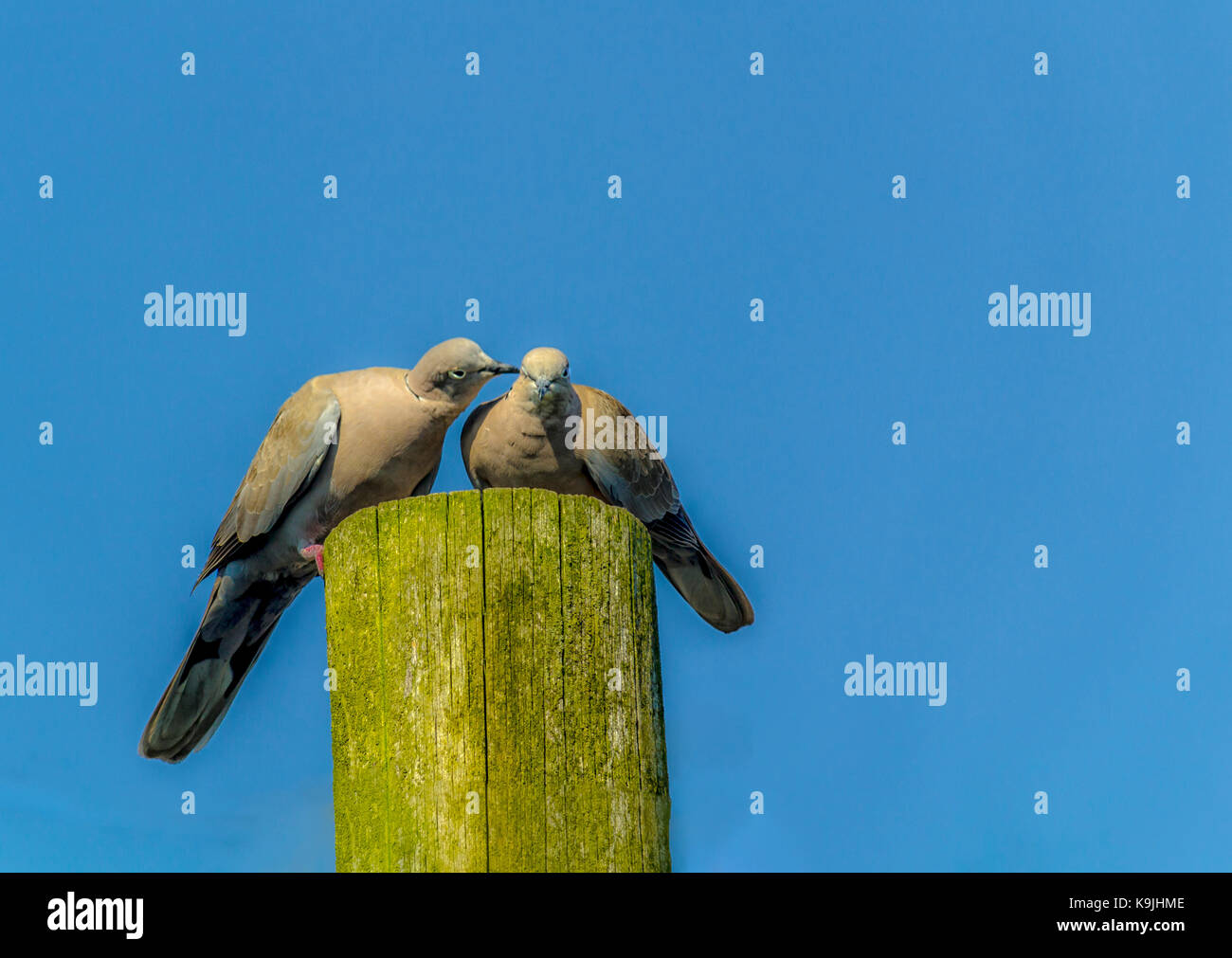 Ring doves on a pole., loving, together. - Stock Image