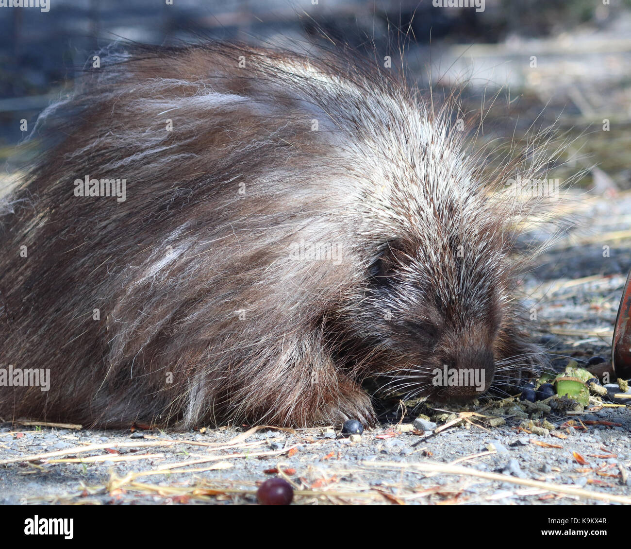 Snickers the famous Porcupine at Alaska Wildlife Conservation Center. He became famous when a You-tube video of - Stock Image