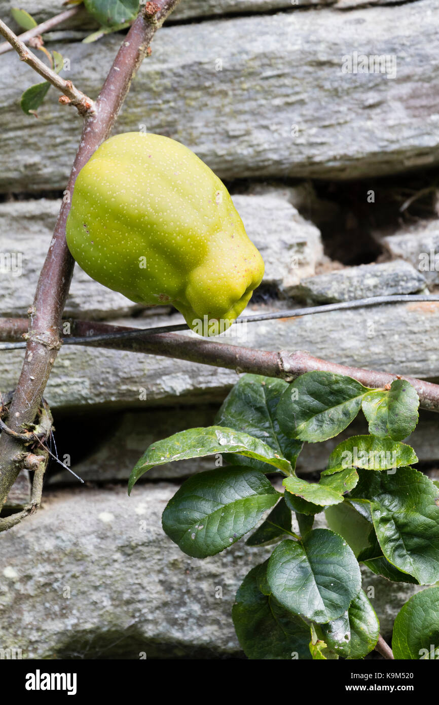 Pear shaped edible fruit of the Japanese quince, Chaenomeles speciosa 'Knap Hill Radiance' - Stock Image