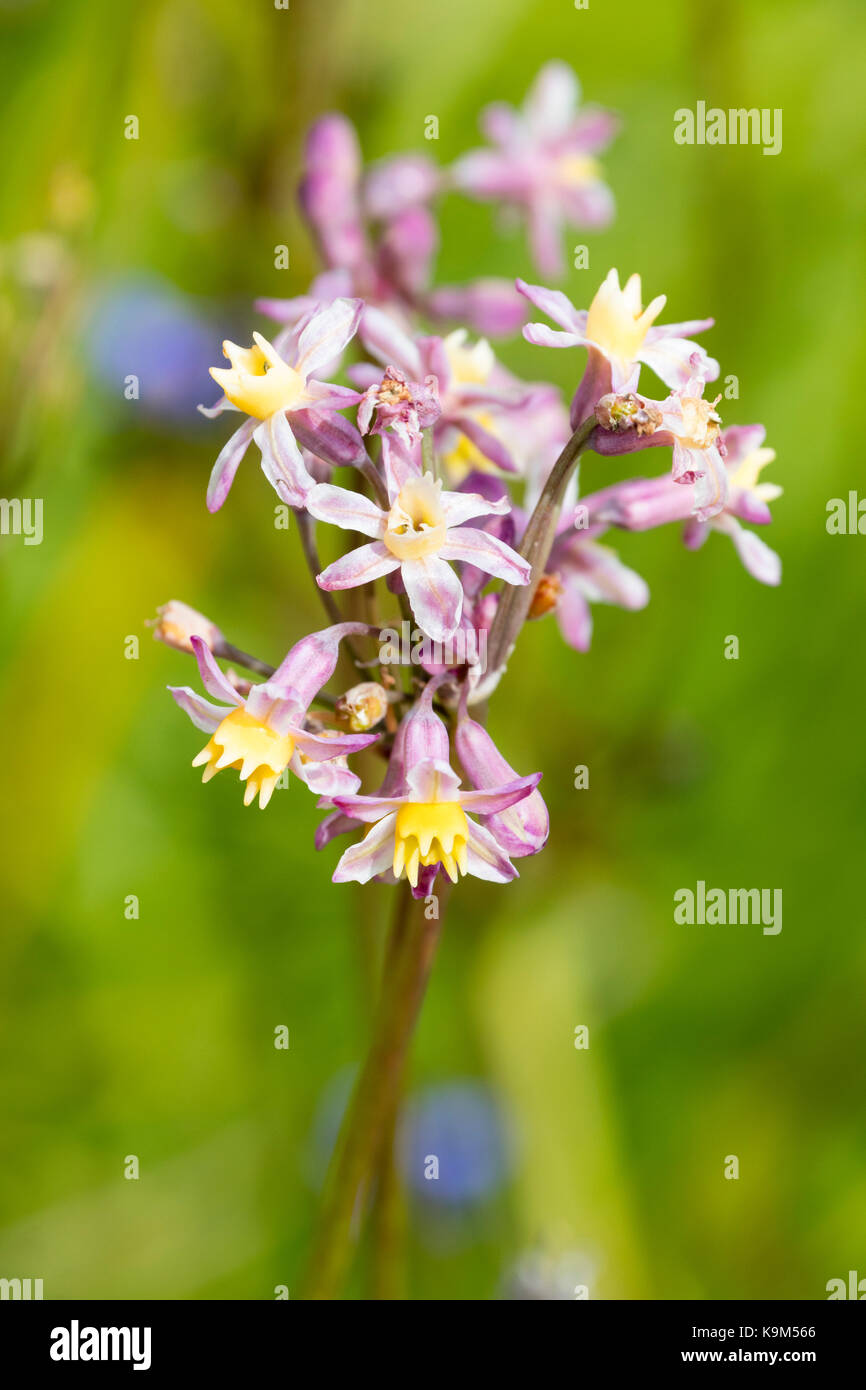 Pink flowered with yellow corollas, society garlic Tulbaghia 'Cosmic' is a recently introduced hybrid form - Stock Image