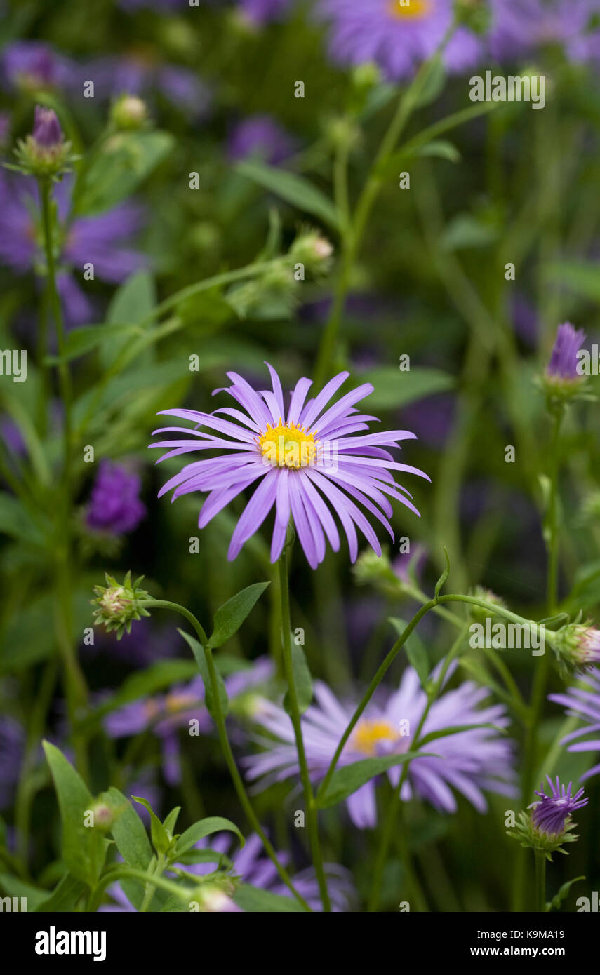 Growing plant perennial aster flower stock photos growing plant lavender blue asters in an herbaceous border stock image mightylinksfo