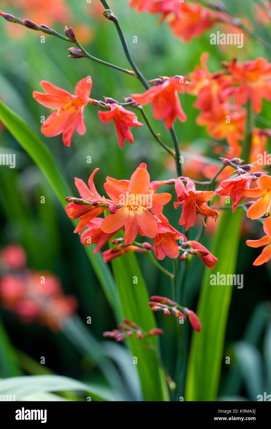 Crocosmia 'Lucifer' flowers. Stock Photo