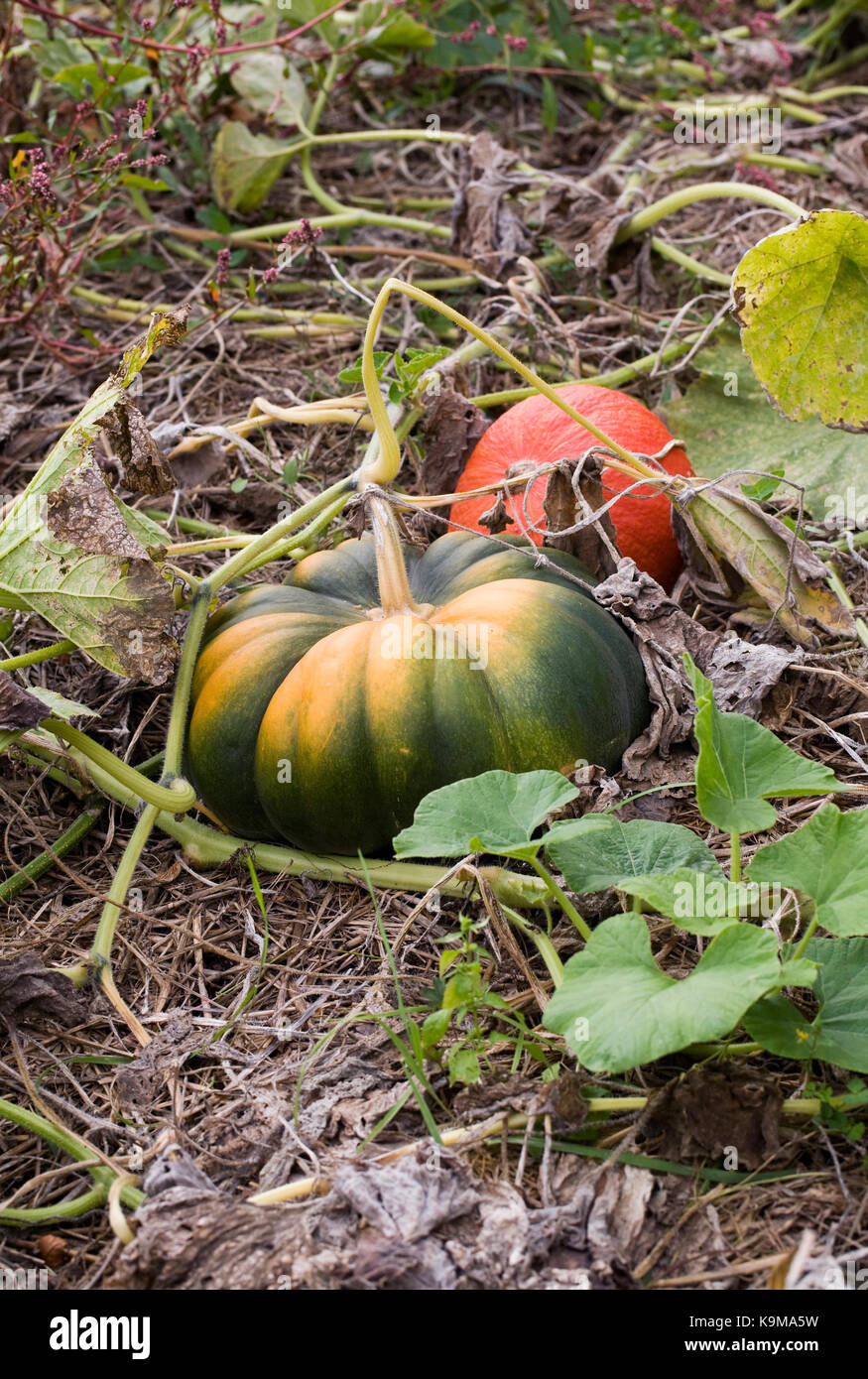 Curcubita. Pumpkins growing in a pumpkin patch. - Stock Image