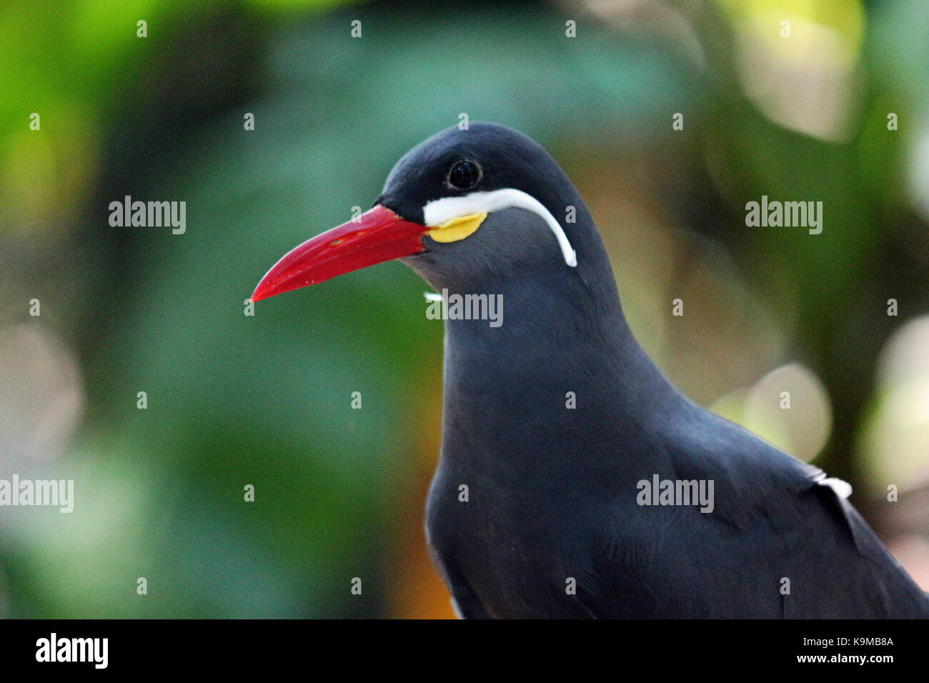 A close up head shot of an Inca Tern Bird native to Peru and Chile with a natural colorful background. Stock Photo