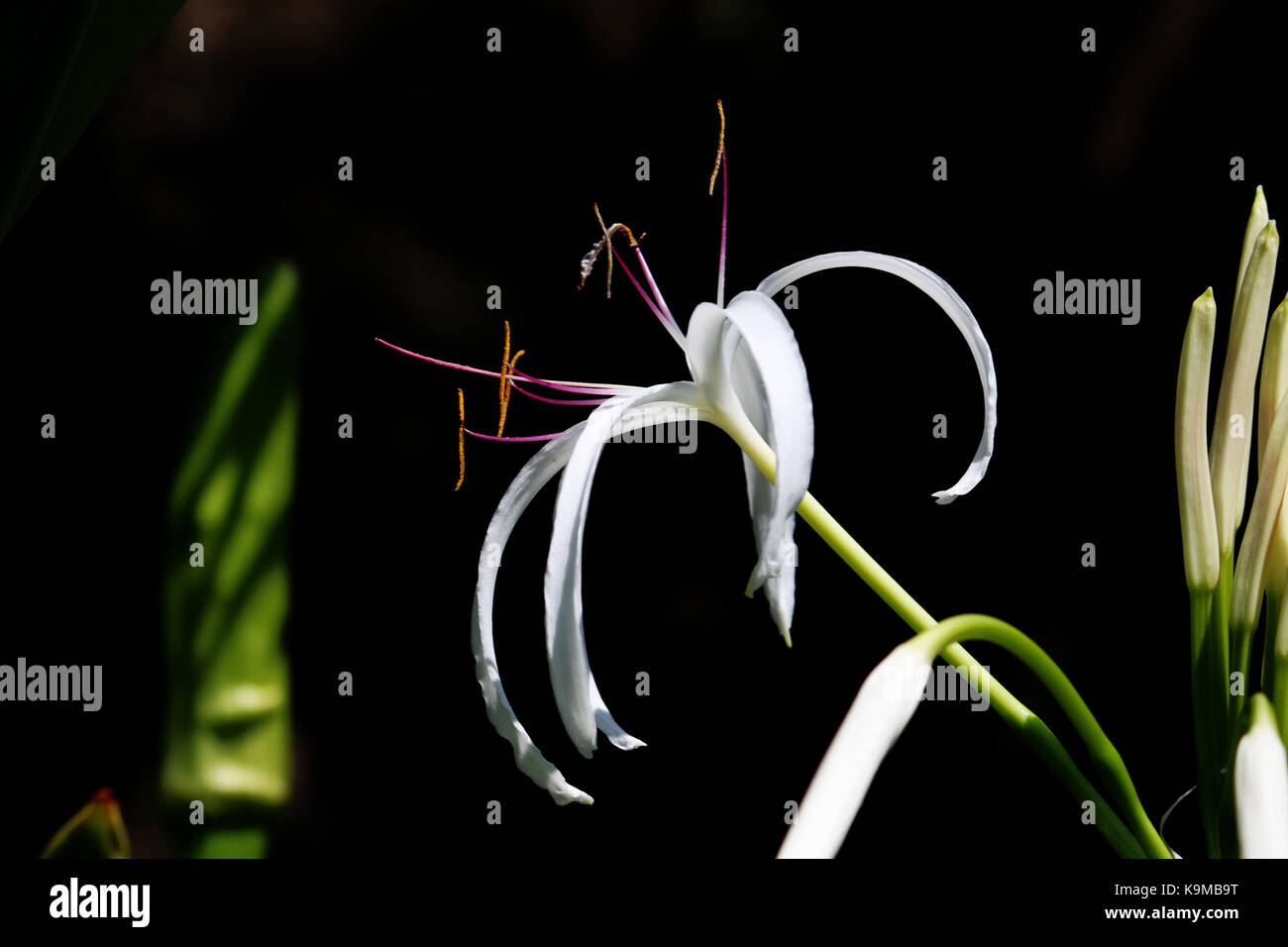 An isolated Queen Emma / Crinum Lily Flower with a black background Stock Photo