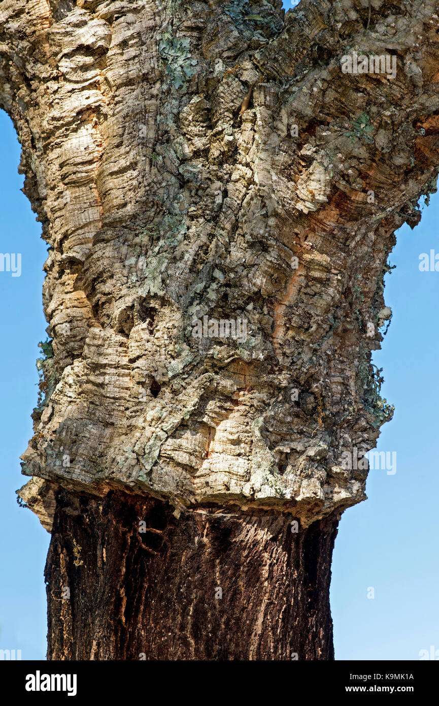Strain of a partially shelled Cork oak (Quercus suber), Algarve, Portugal - Stock Image