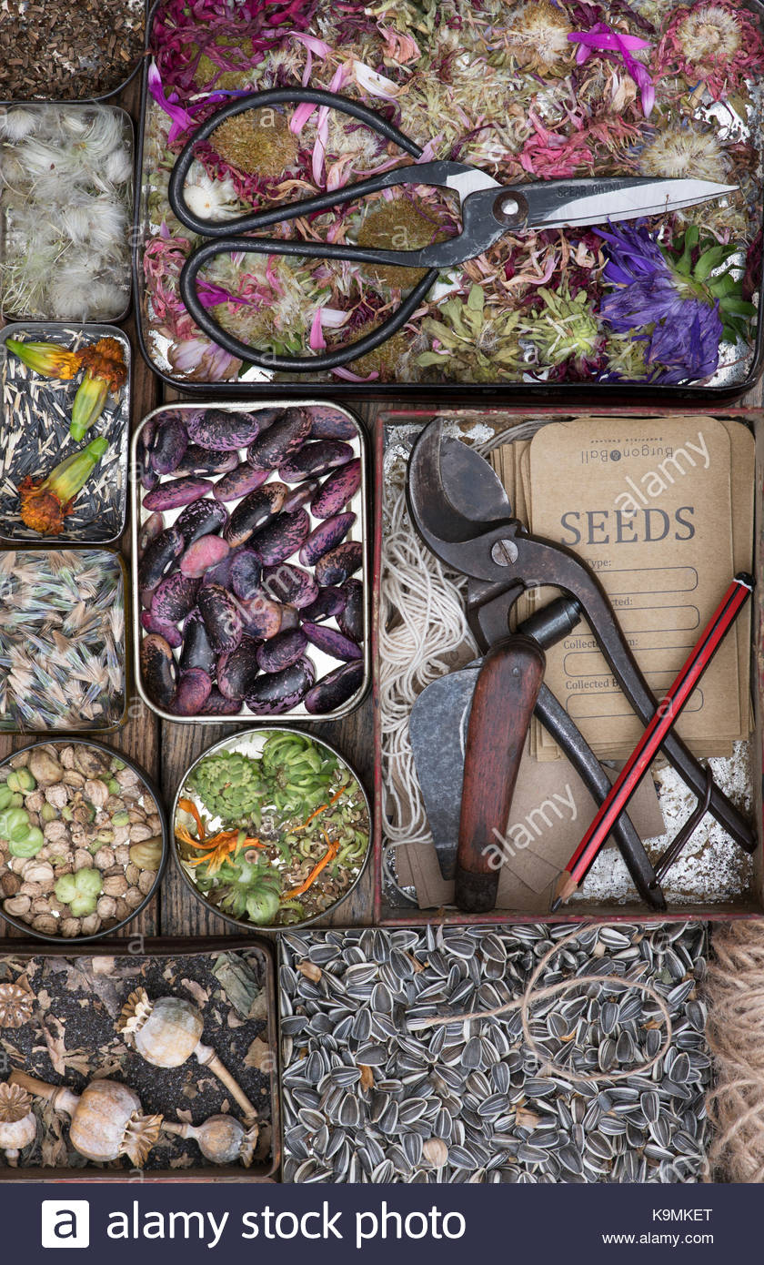 Various saved flower seeds with Runner beans 'Scarlet Emperor, garden tools and seed packets in old vintage - Stock Image