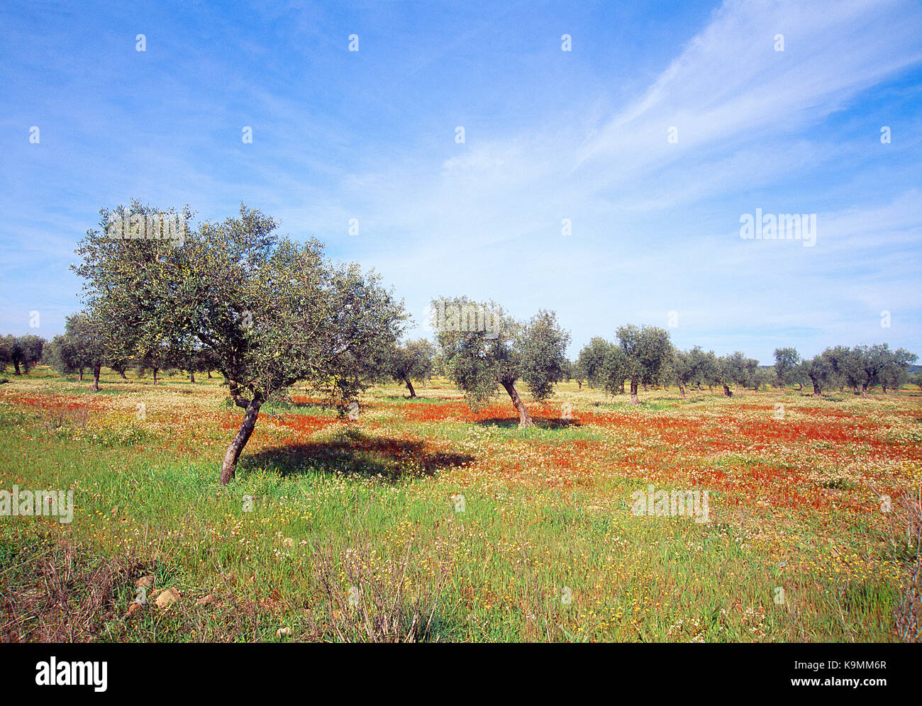 Holm oaks and meadow. Cornalvo Nature Reserve, Badajoz province, Extremadura, Spain. - Stock Image