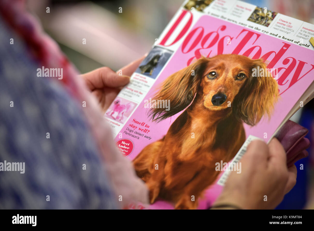 a lady or woman reading a dogs or pets magazine in a newsagents shop dogs today magazine and choosing a periodical - Stock Image