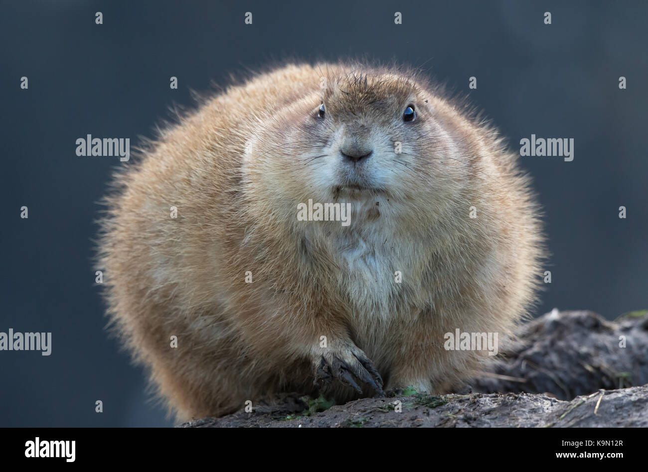 Most Inspiring Super Chubby Adorable Dog - tight-close-up-of-chubby-cute-prairie-dog-cynomys-sat-by-muddy-burrow-K9N12R  Trends_864899  .jpg