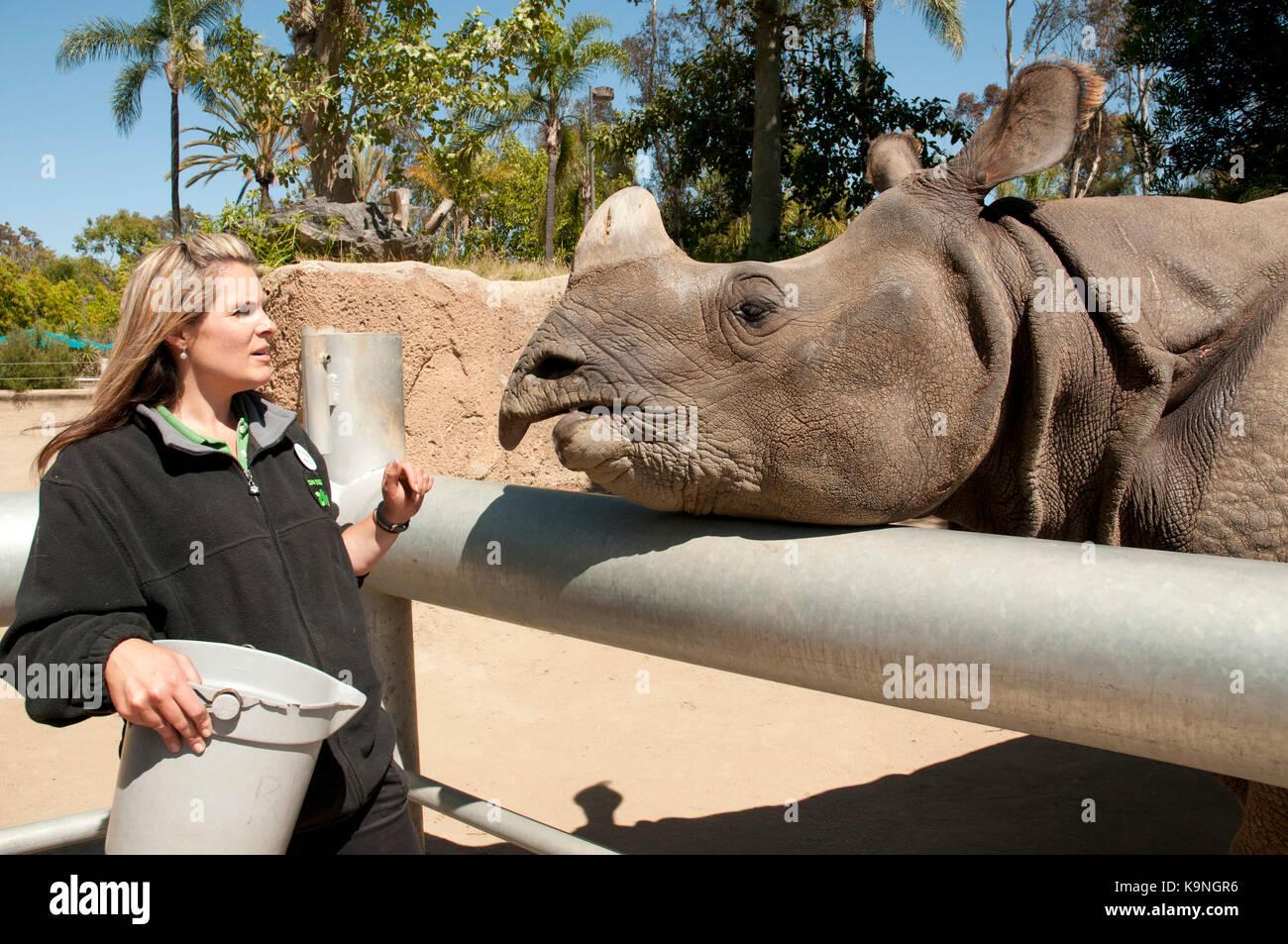 Zoo keeper feeding a rhinoceros at San Diego Zoo, Balboa Park, California, USA - Stock Image