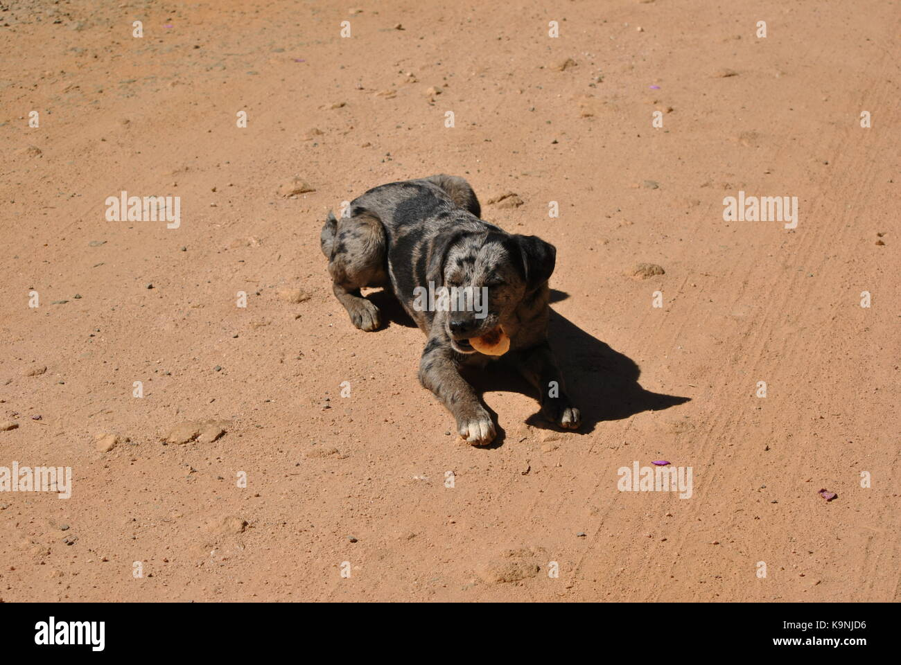 Street dog eating - Stock Image