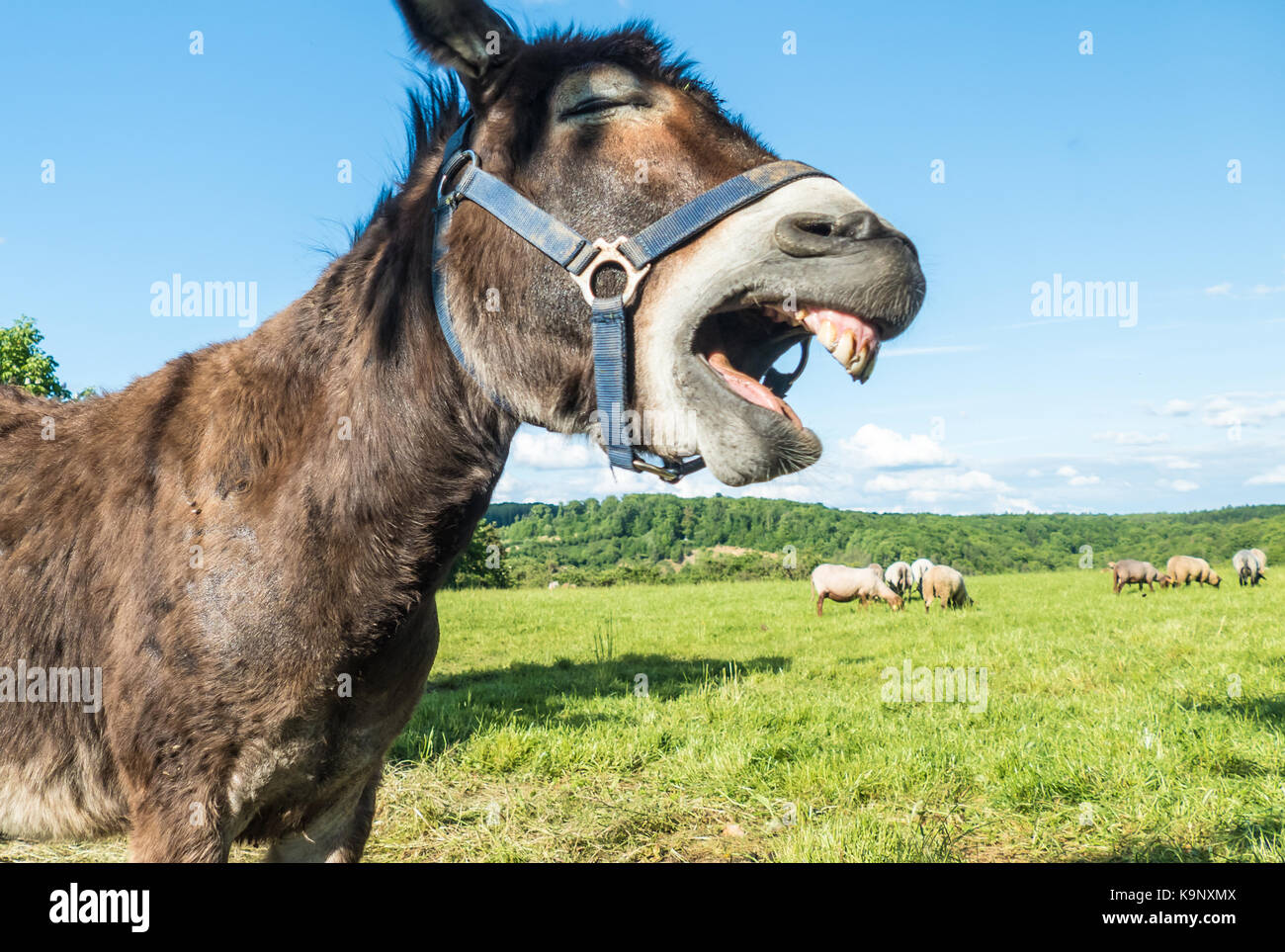 Funny laughing donkey face Stock Photo: 160907178 - Alamy - photo#22