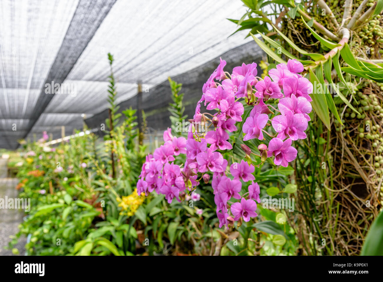 Beautiful pink flower bouquet of dendrobium orchids hybrids on the ...
