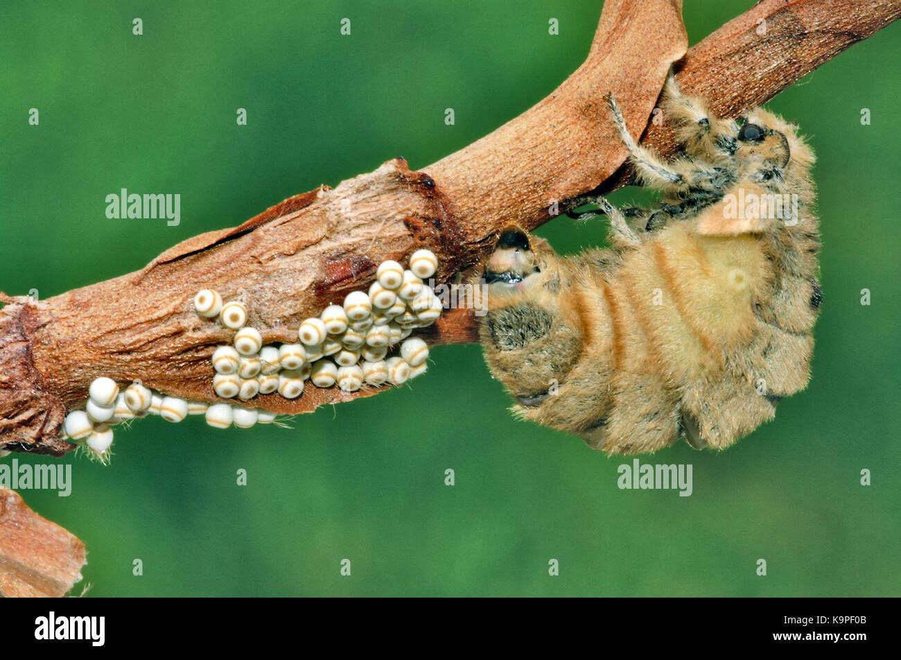Vapourer moth (Orgyia antiqua) flightless female laying eggs - Stock Image