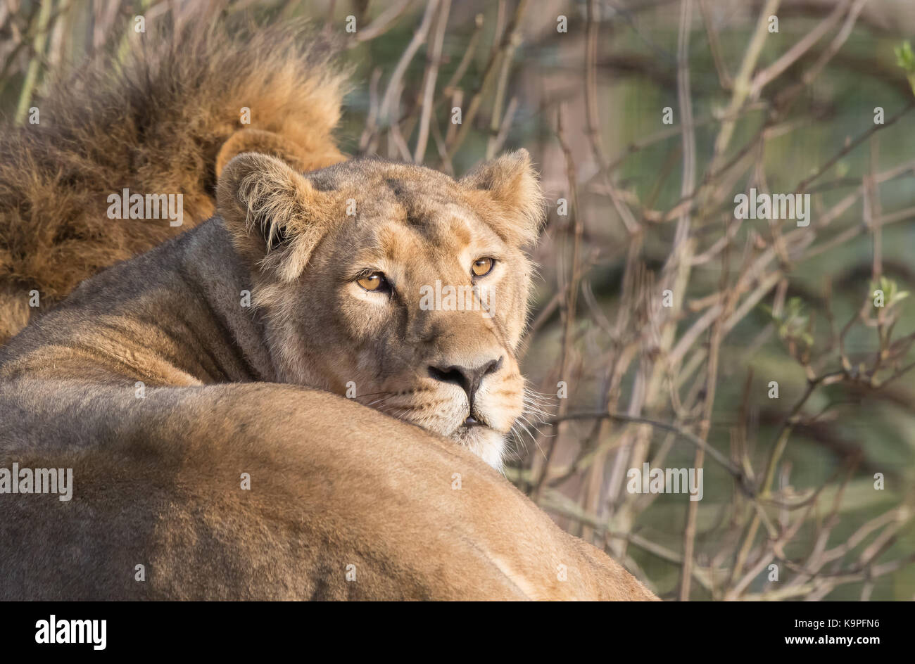 Landscape close up of Asiatic lioness at rest, staring at camera. Mane only of her male partner is visible behind, - Stock Image