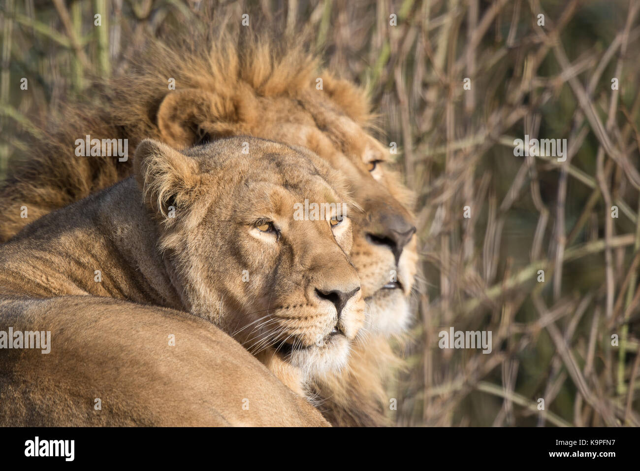Close up of Asiatic lion & lioness (head & shoulders) at rest together, in relaxed pose. Female is main - Stock Image