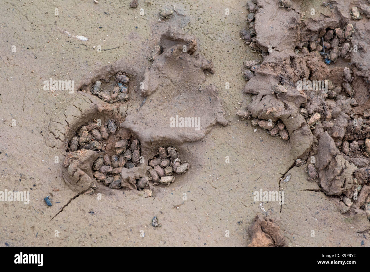 Couch's Spadefoot, (Scaphiopus couch), metamorphose sheltering in the footprints of a dog.  Socorro co., New - Stock Image
