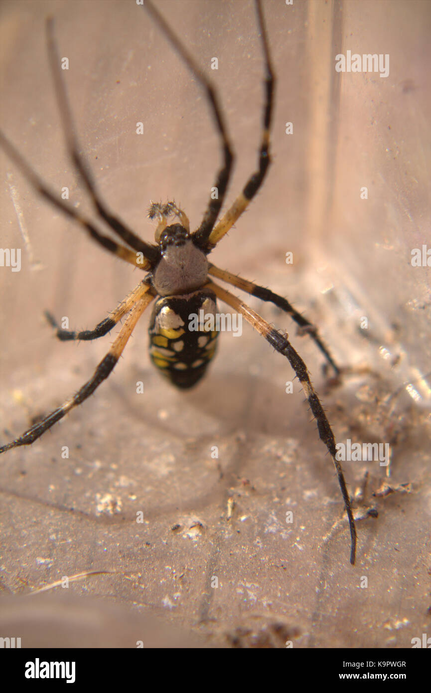 Orb Weave Spider Stock Photos & Orb Weave Spider Stock Images - Alamy