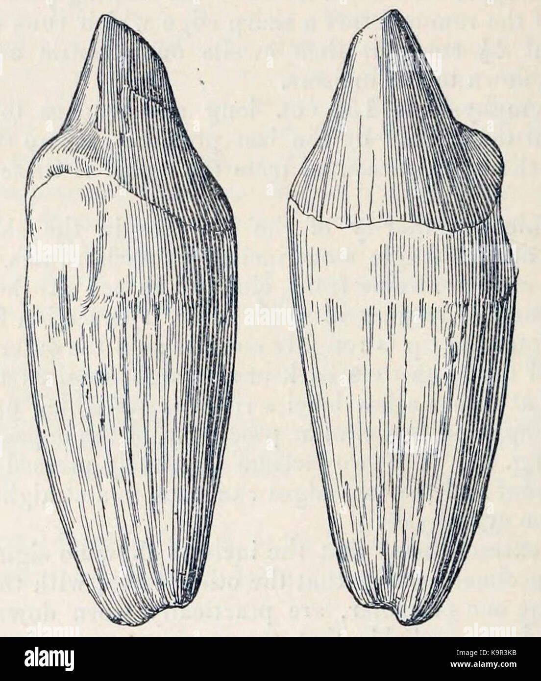 Paraceratherium bugtiense incisors - Stock Image