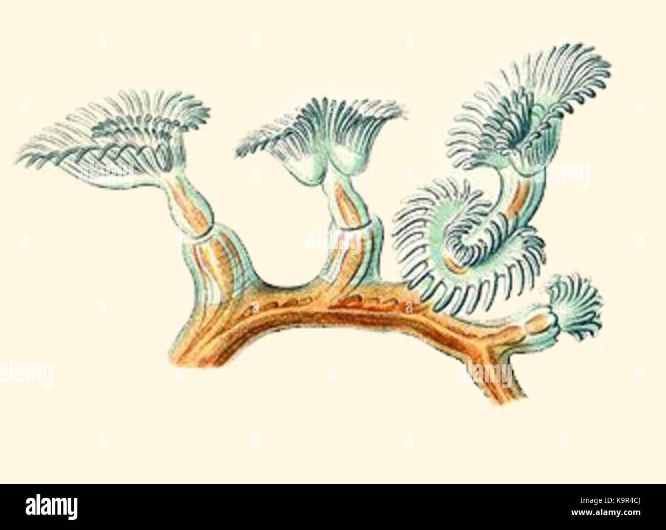 Plumatella repens from Haeckel Bryozoa drawing Commons2 Stock Photo