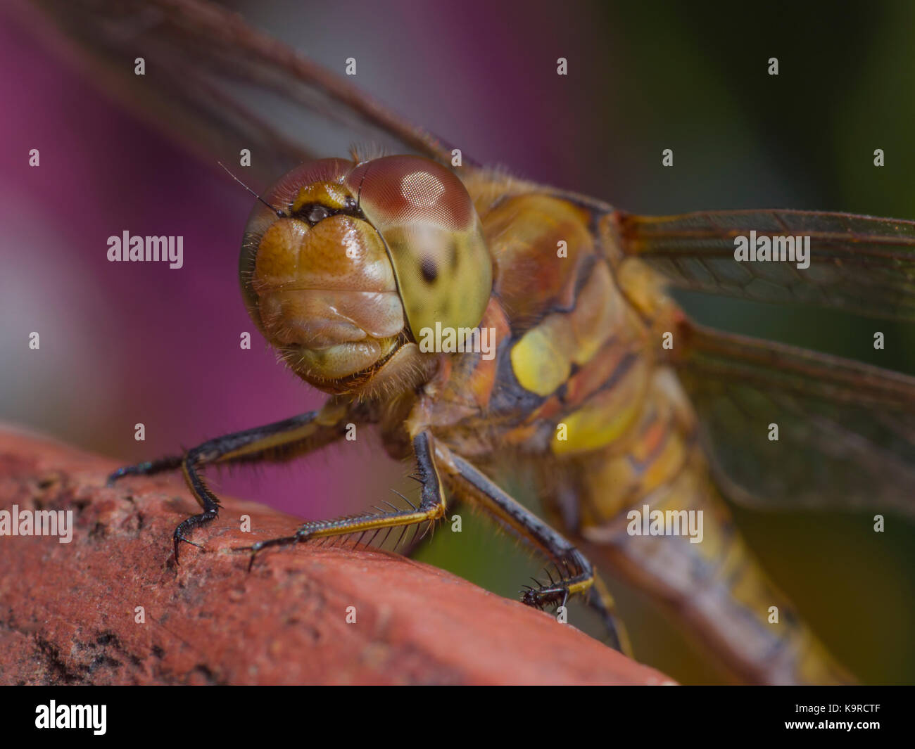 Common ad Ruddy darter Dragonflies showing their colourful multi-celled compound eyes and four wings while at rest. - Stock Image