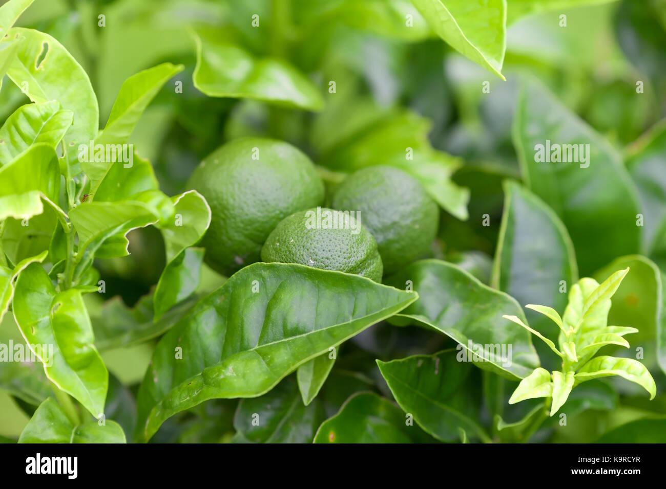 Immature oranges. - Stock Image