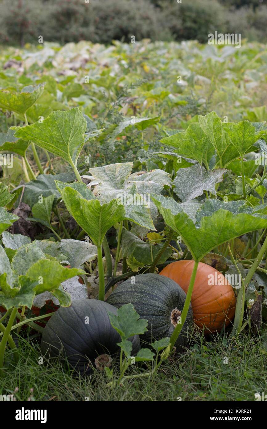 Pumpkins growing in a pumpkin patch. - Stock Image