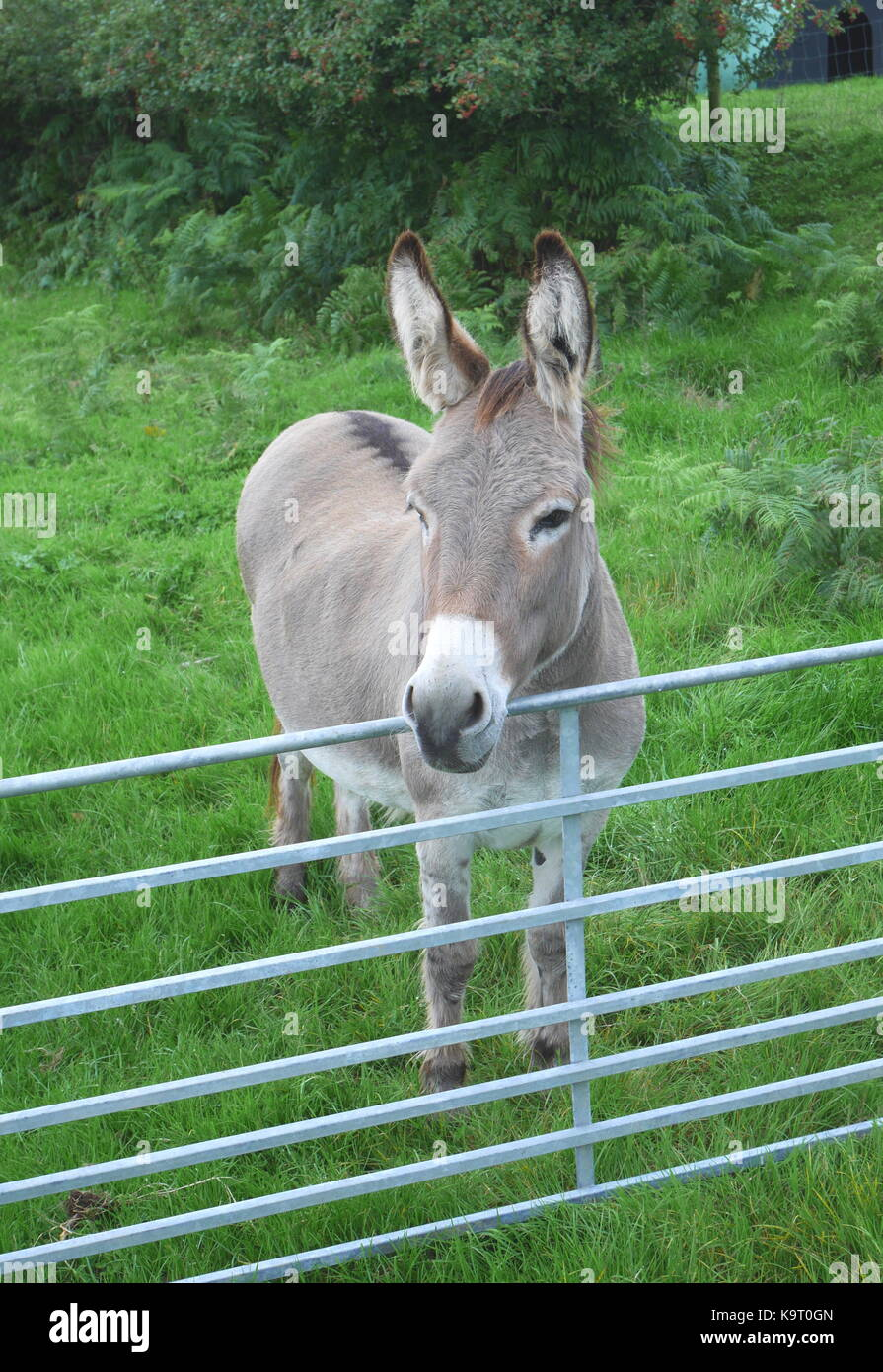 Lugubrious grey donkey in a field on a farm behind a gate, Wales, UK - Stock Image
