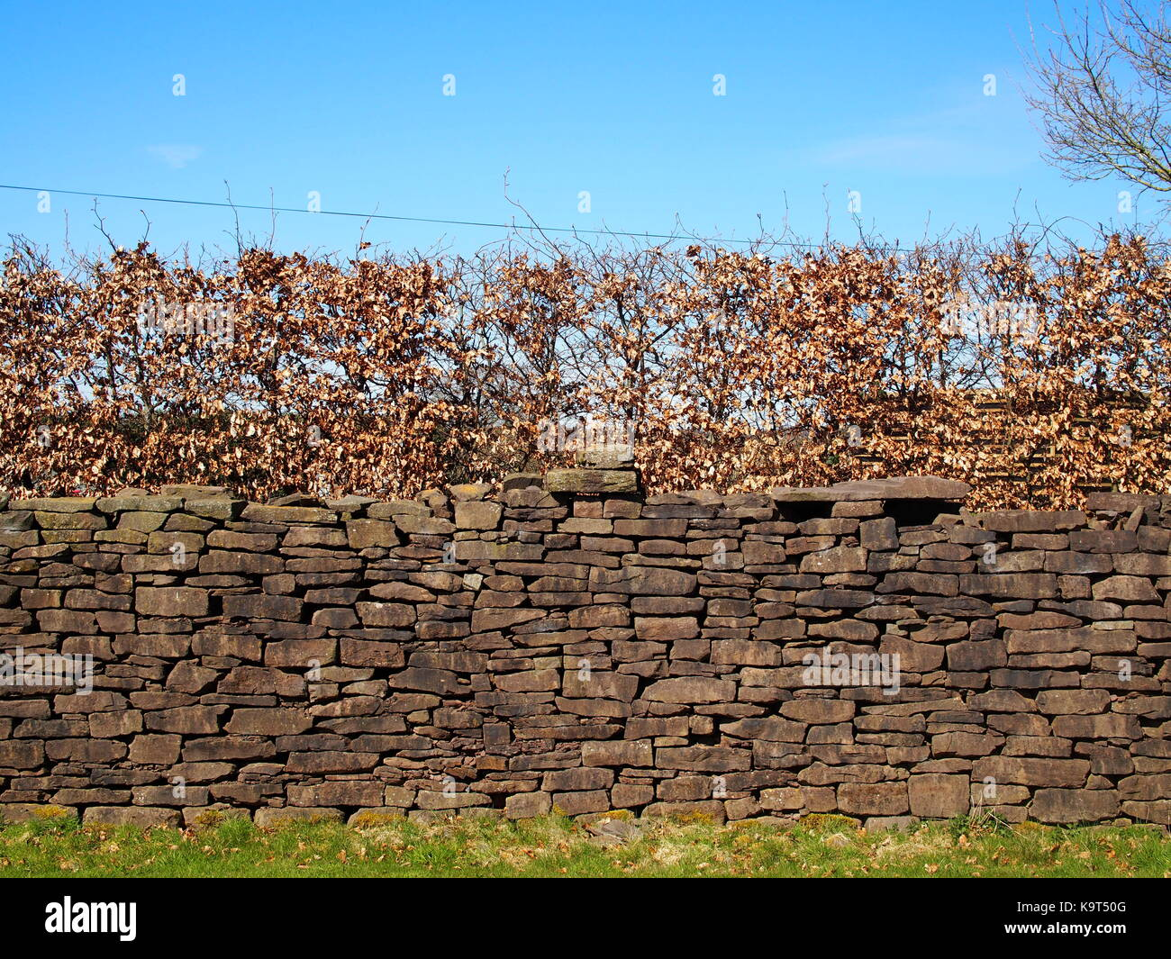 Dry stone wall in Wales made from Old Red Sandstone with beech hedge above - Stock Image