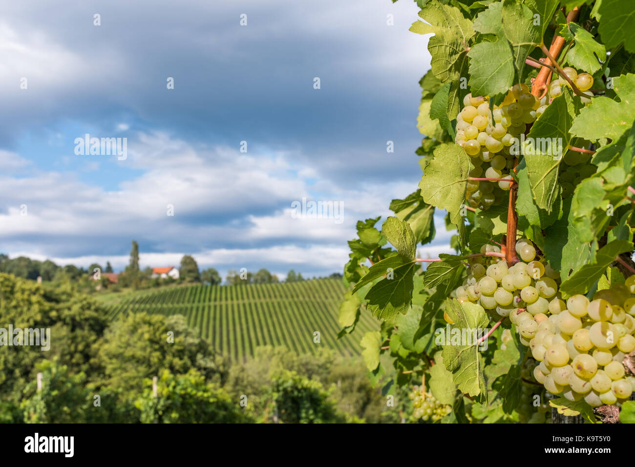 Ripe juicy green grapes for white vine in vineyard on south Styrian vine route in Austria - Stock Image