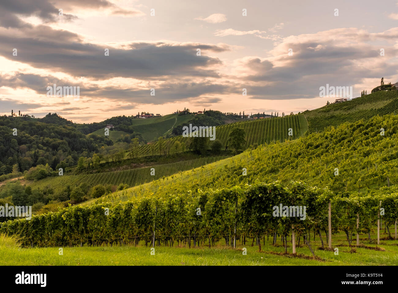 Vineyard in the evening along the south Styrian vine route in Austria, Europe - Stock Image