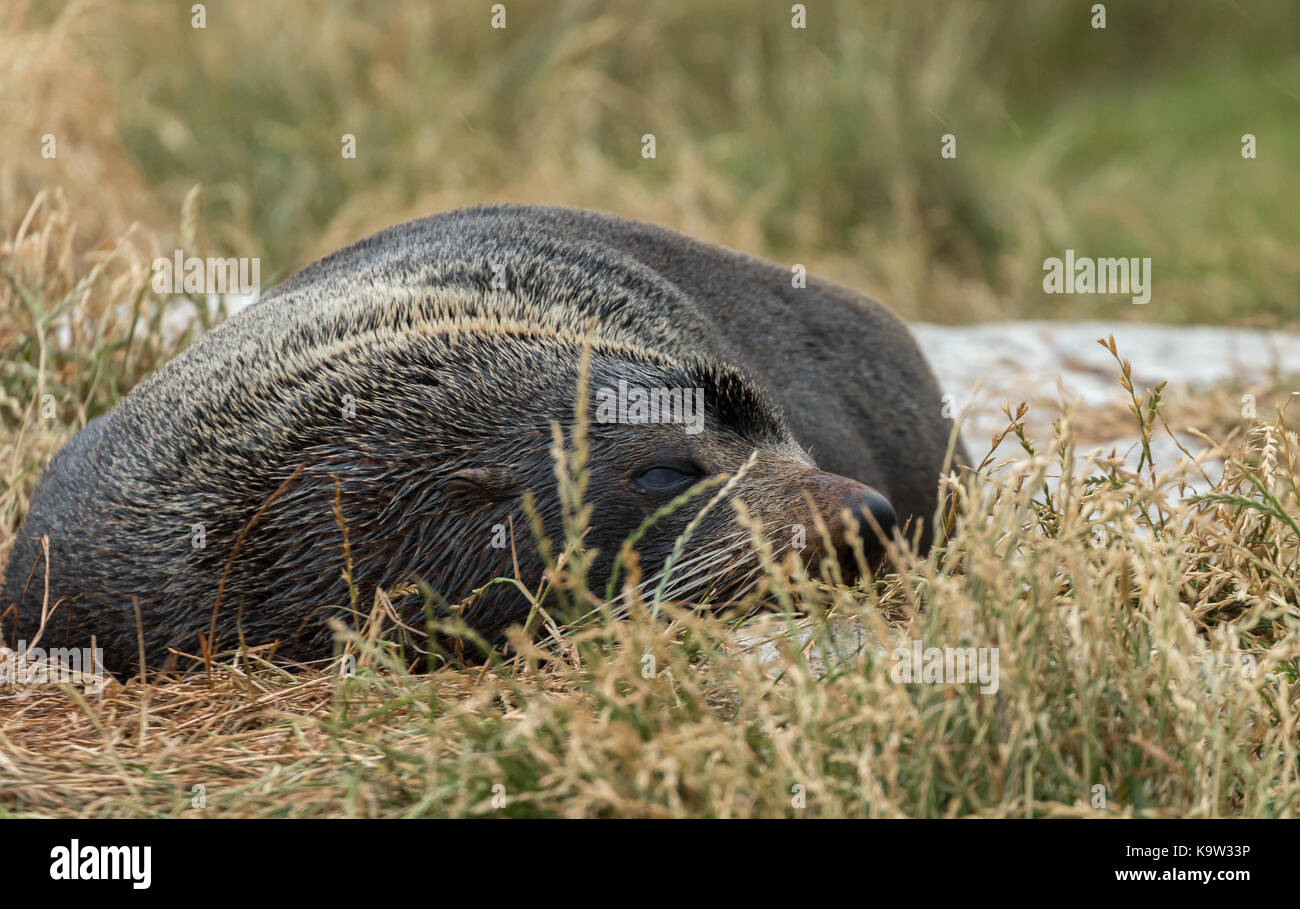 New Zealand fur seal (Arctocephalus forsteri) at a colony in Dunedin, South Island - Stock Image
